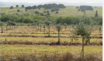 olive plantation uruguay for sale