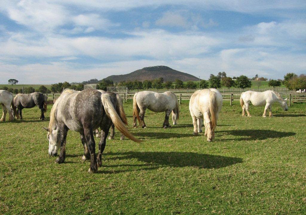 Pferdefleischrasse Percheron